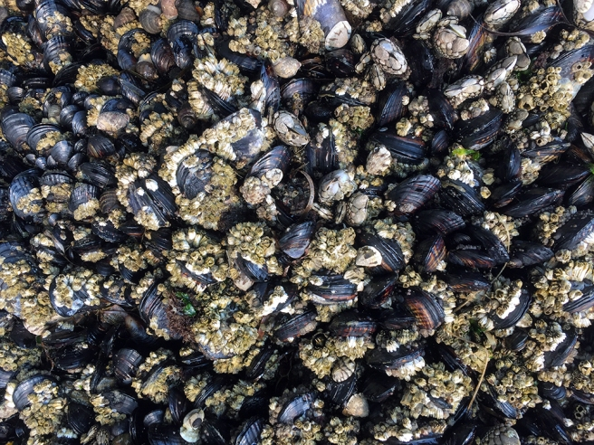 Clam shell barnacles from La Push beach in Washington State