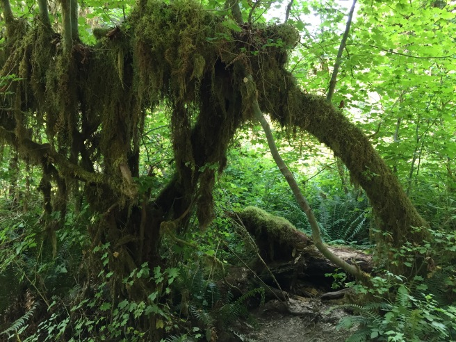 Mossy green rainforest. HOH Rainforest 2017